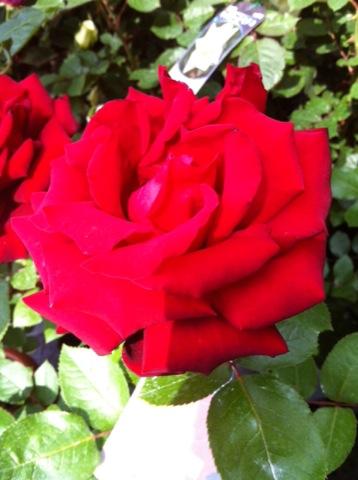 rose04201.jpg