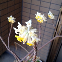 mitsumata0323