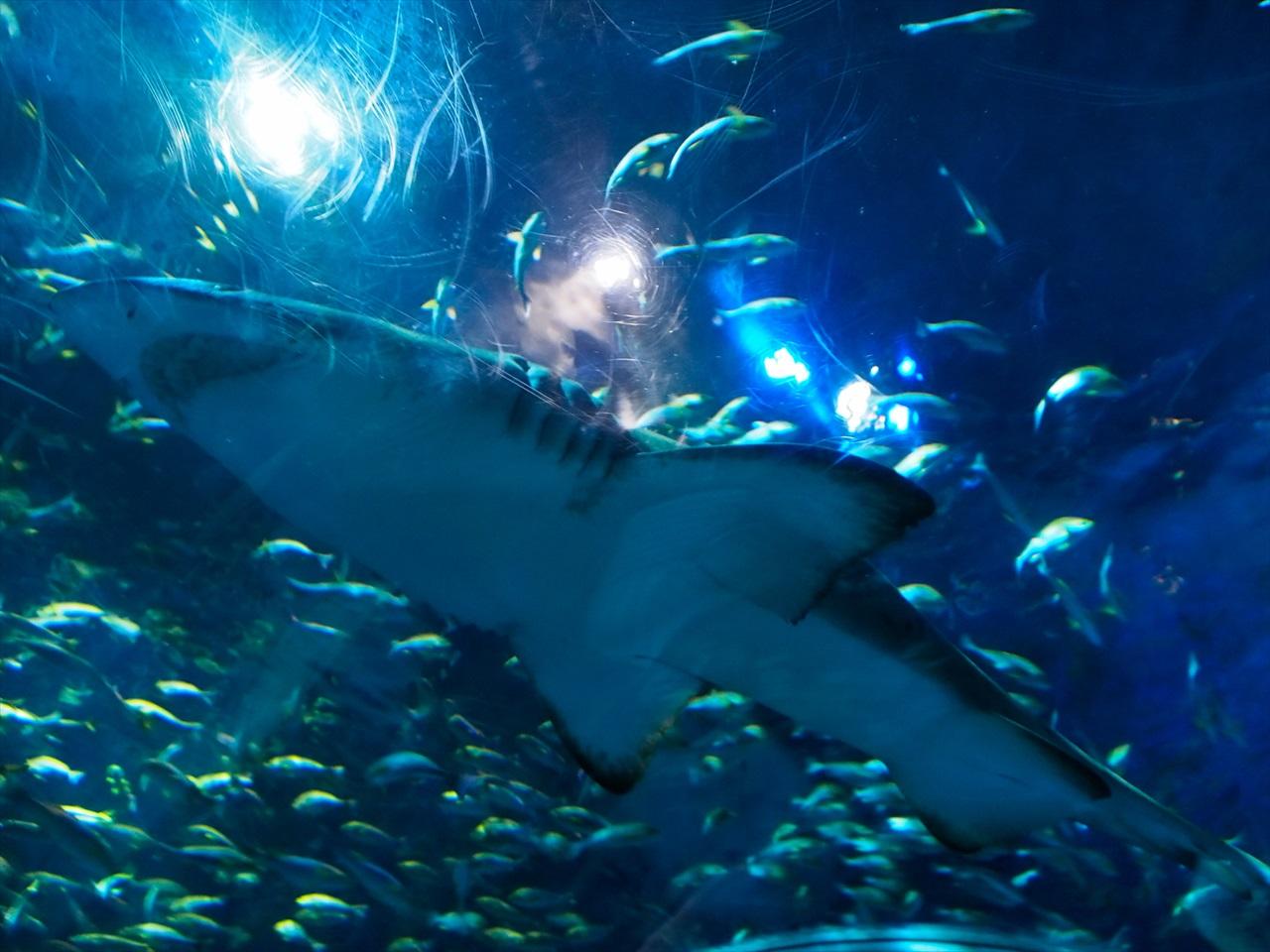 アクアトンネルの頭上を泳ぐサメ