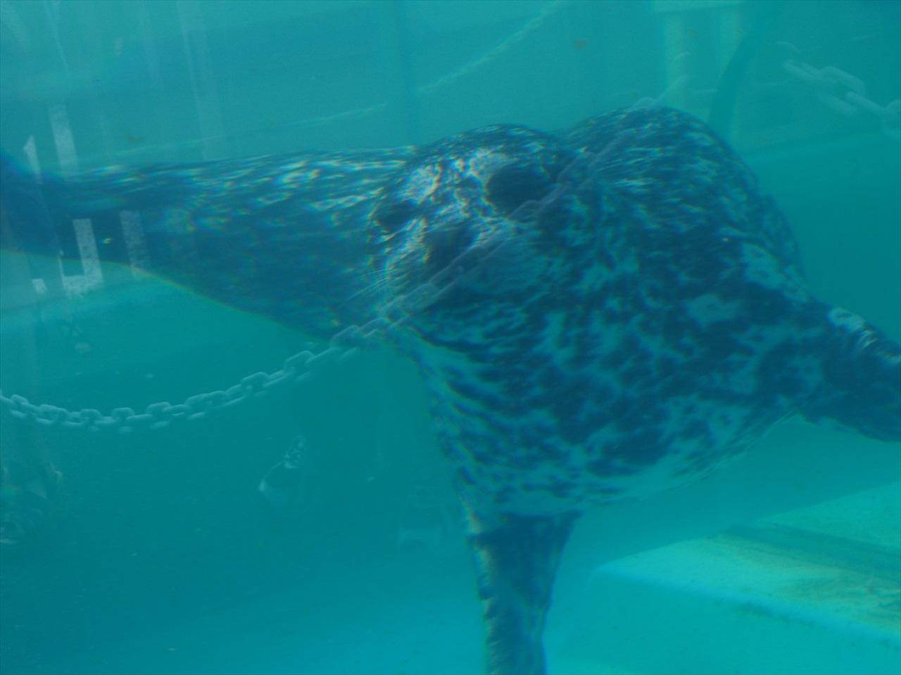 水中を泳ぐアザラシ