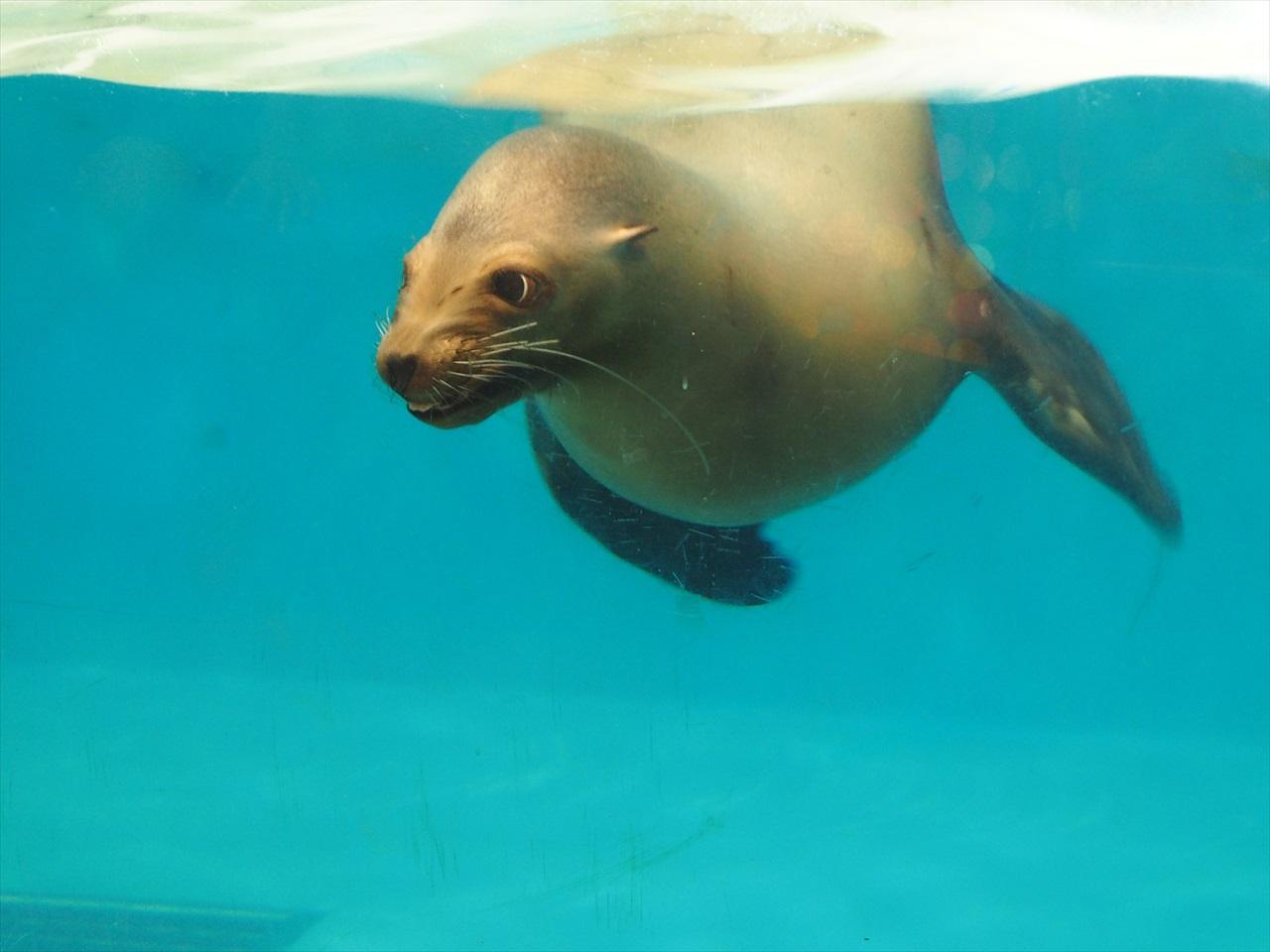 水中を泳ぐアシカ