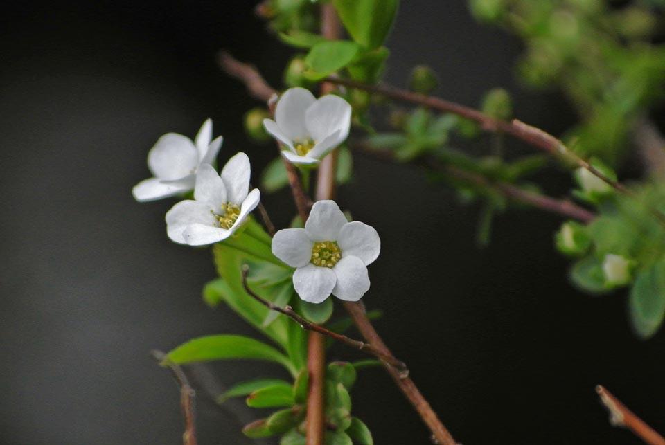 DSC_0597春の花
