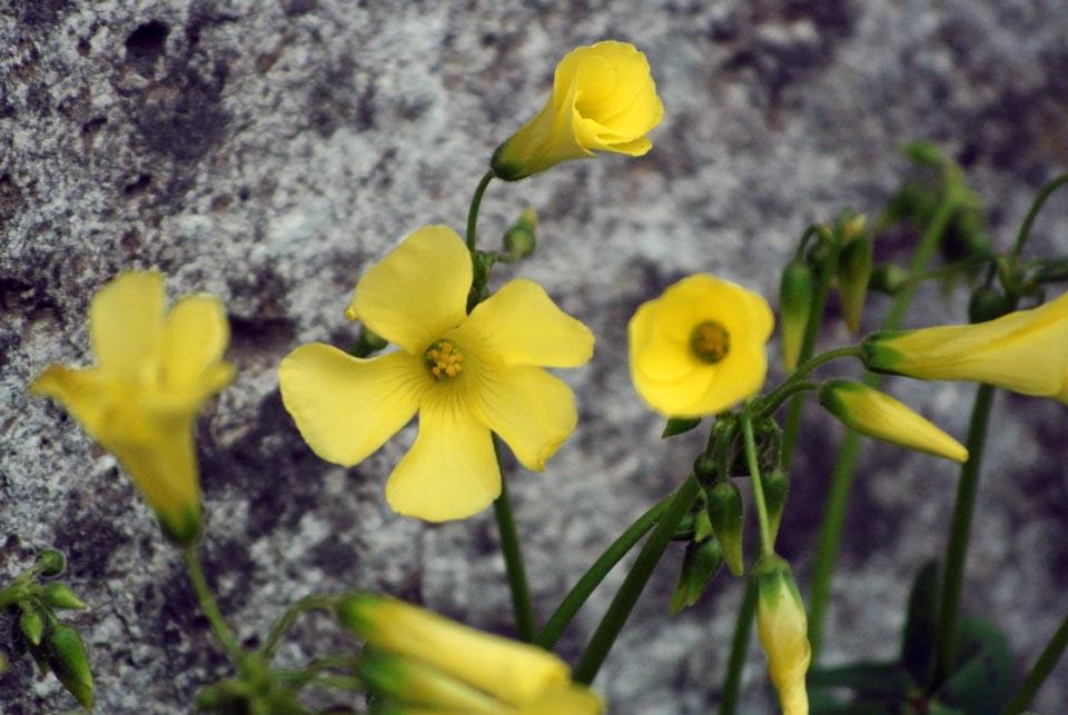 DSC_0610春の花 オキザリス