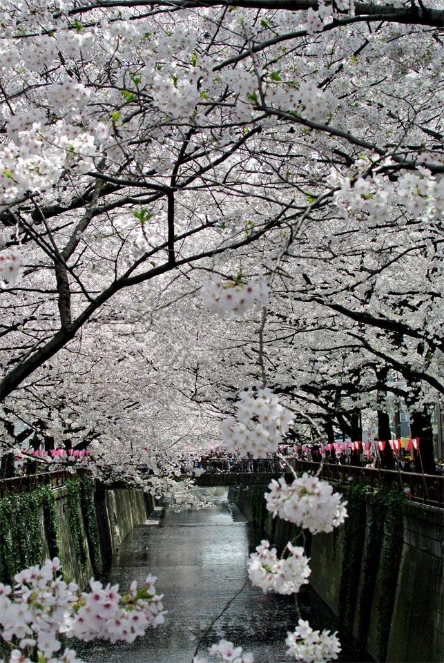DSC_0910目黒の桜