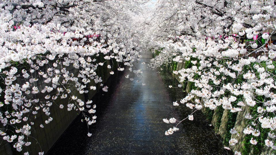 DSC_0924目黒の桜