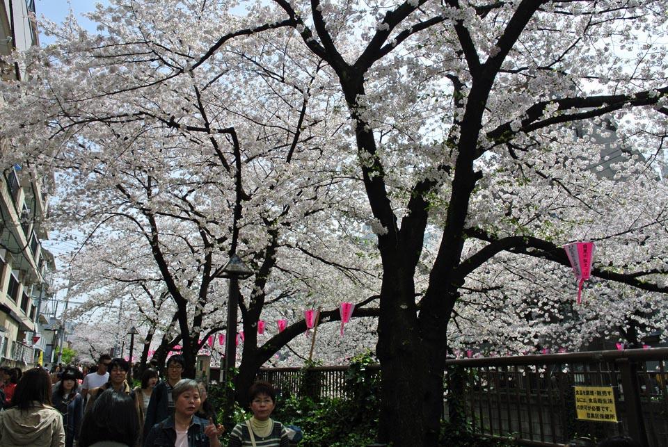 DSC_0970目黒の桜