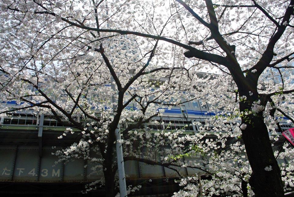 DSC_0973目黒の桜