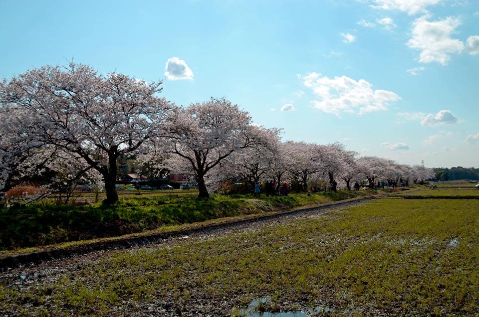 D70_5092今井の桜