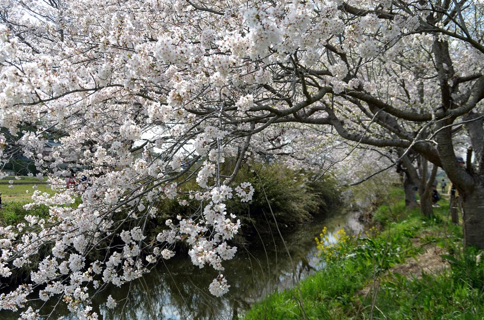 D70_4971今井の桜