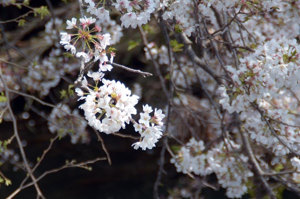 D70_4998今井の桜