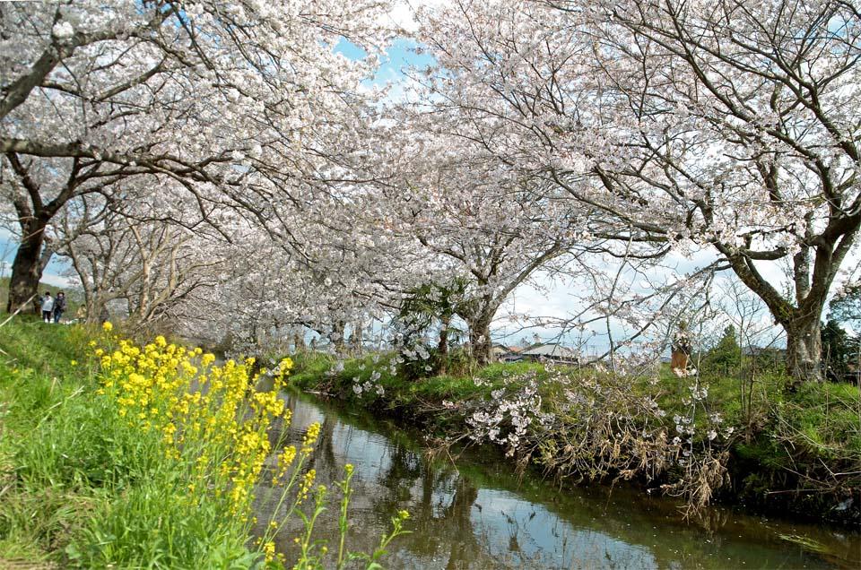 D70_5015今井の桜