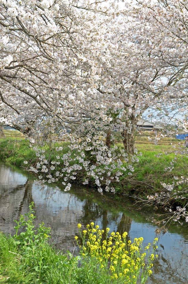 D70_5017今井の桜