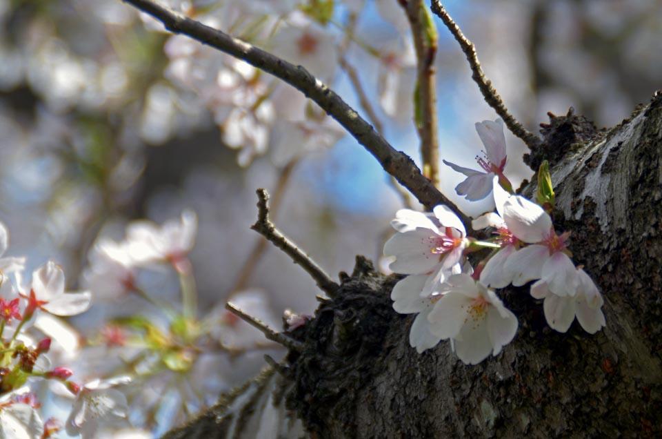 D70_5020今井の桜