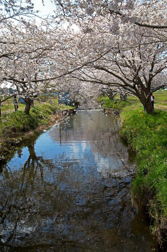 D70_5026今井の桜