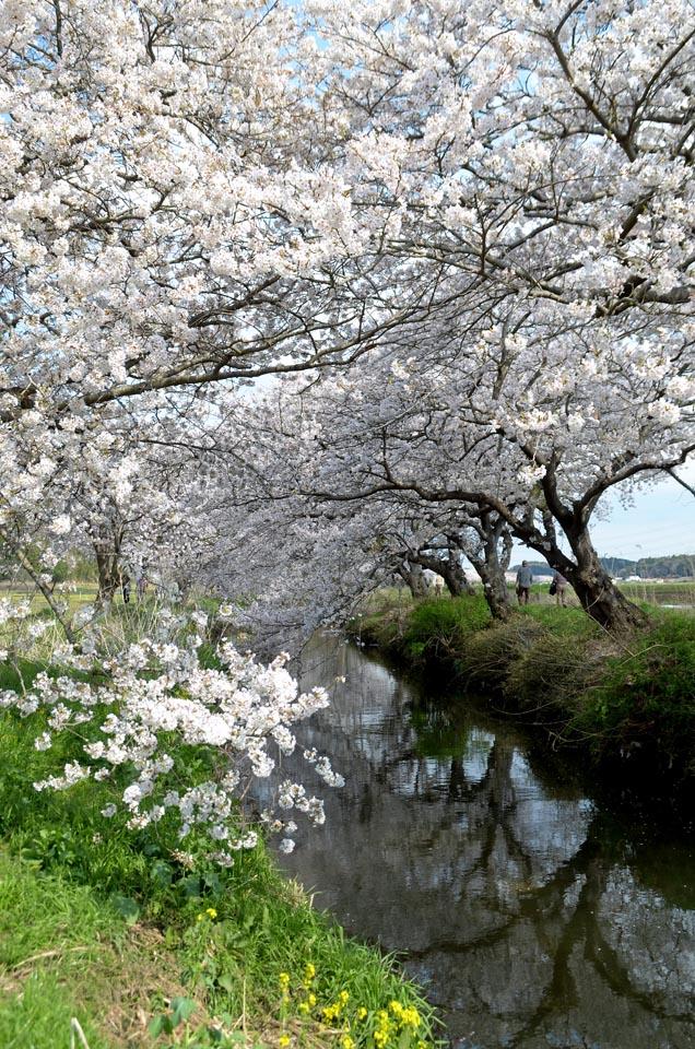D70_5033今井の桜