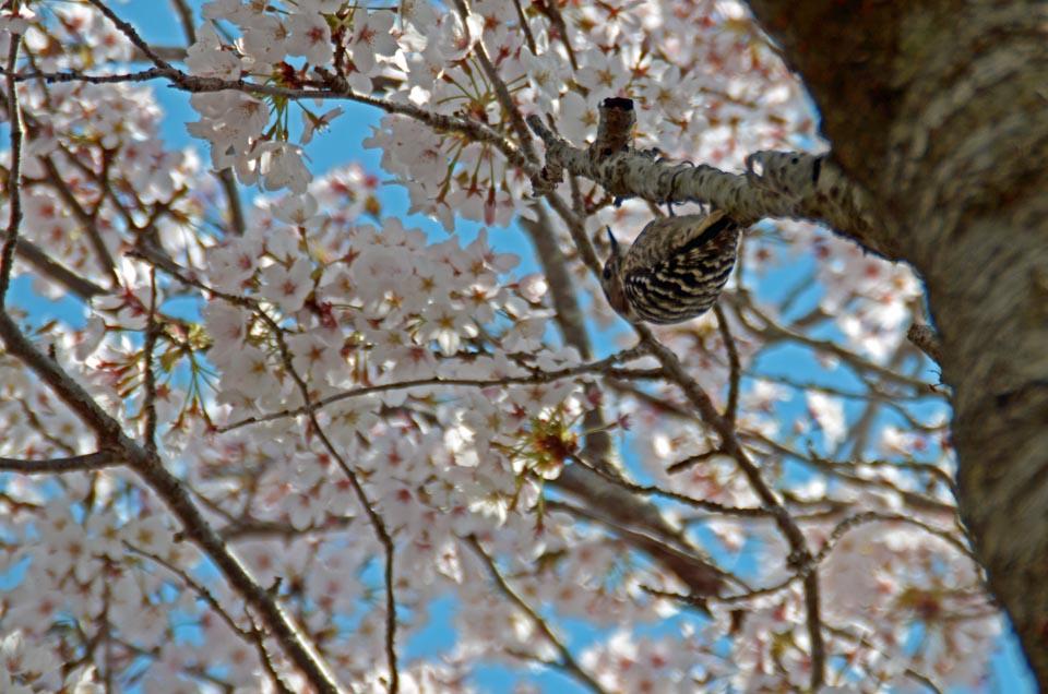 D70_5048今井の桜