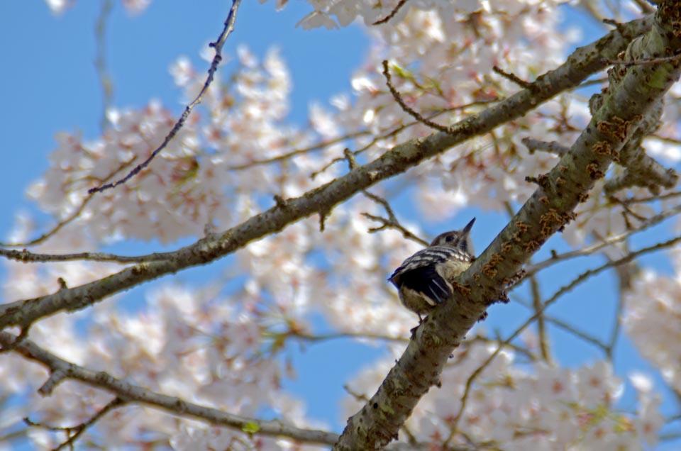 D70_5045今井の桜
