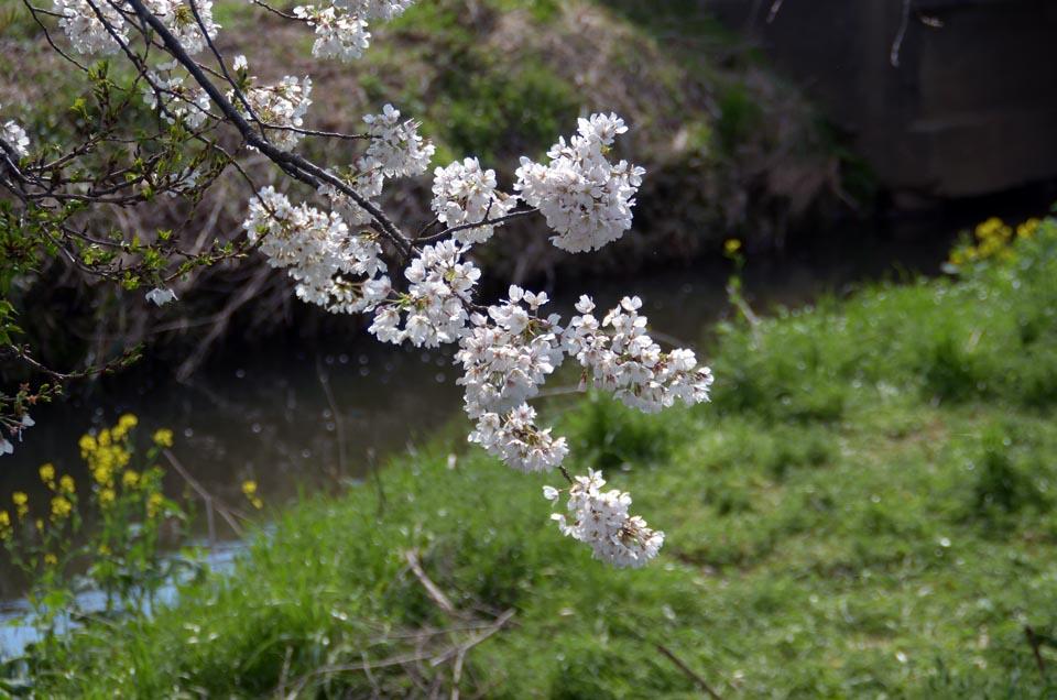 D70_5040今井の桜