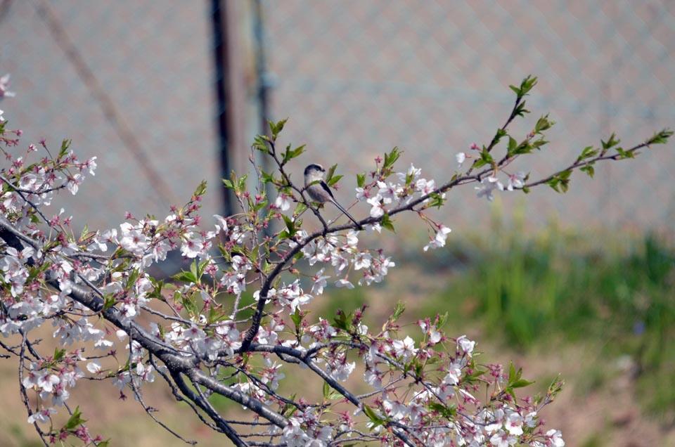 D70_5182柏の桜