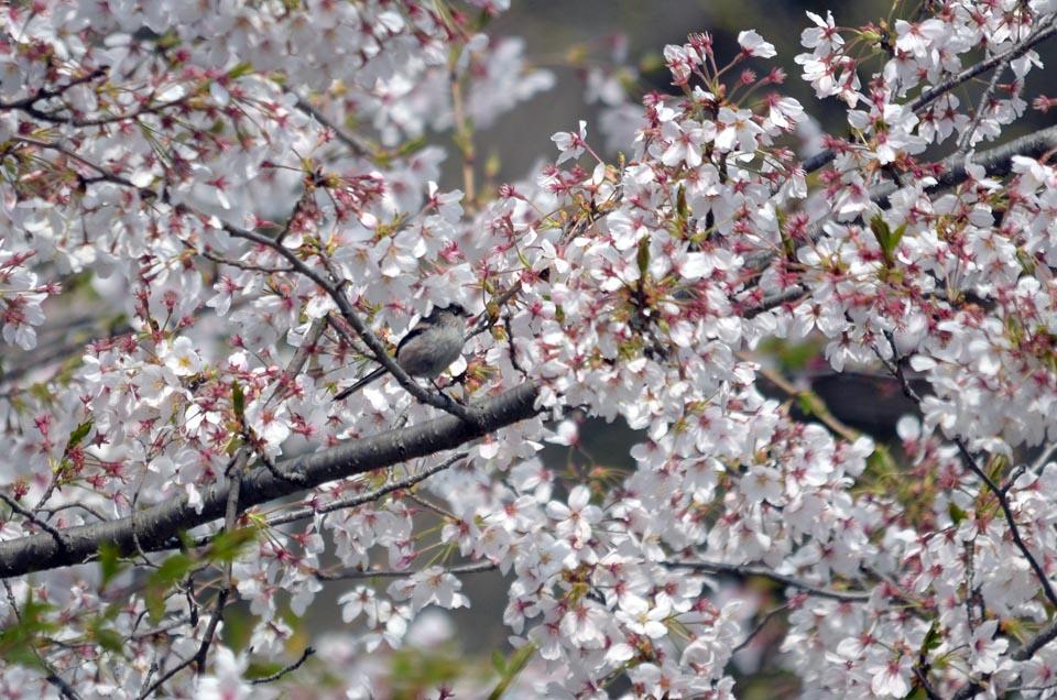 D70_5195柏の桜