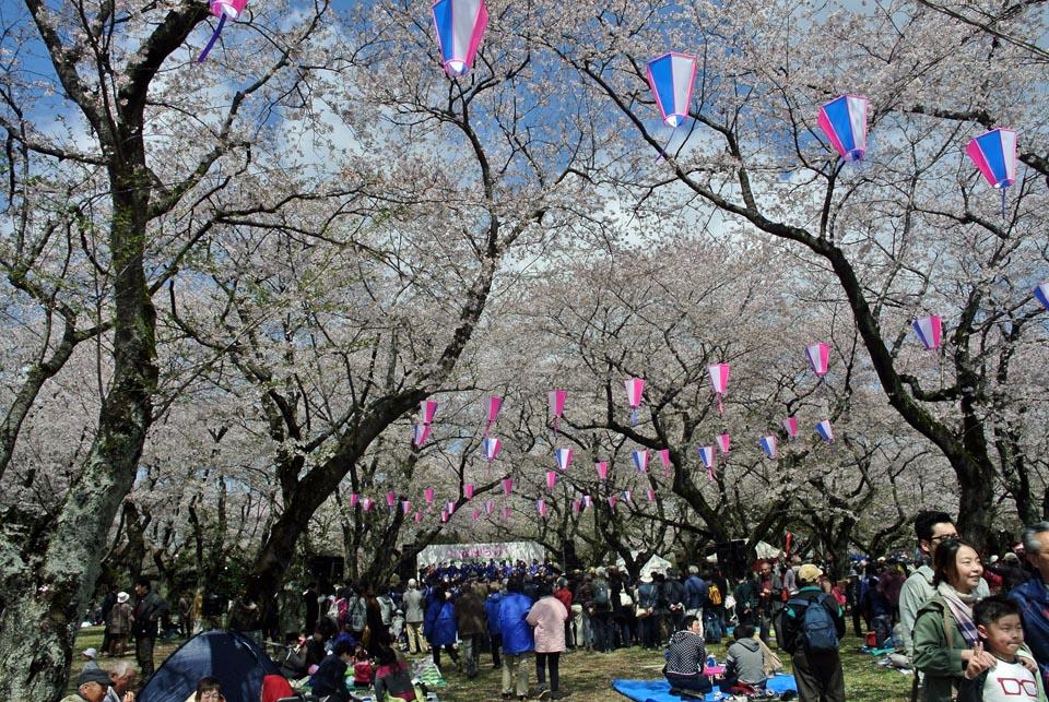 DSC_0995柏の桜