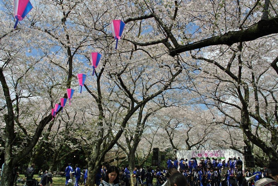 DSC_1006柏の桜