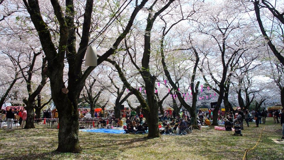 DSC_1009柏の桜
