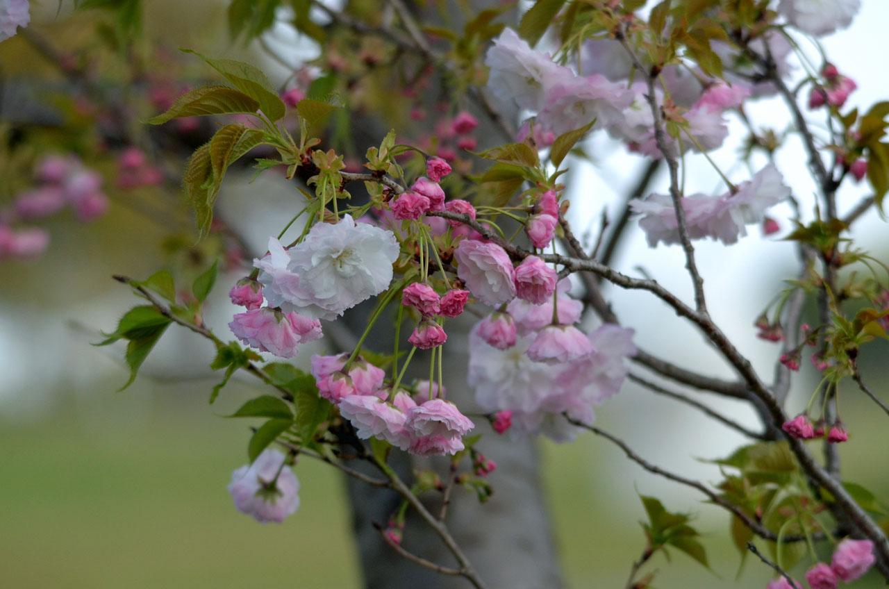 D70_5717手賀沼の春