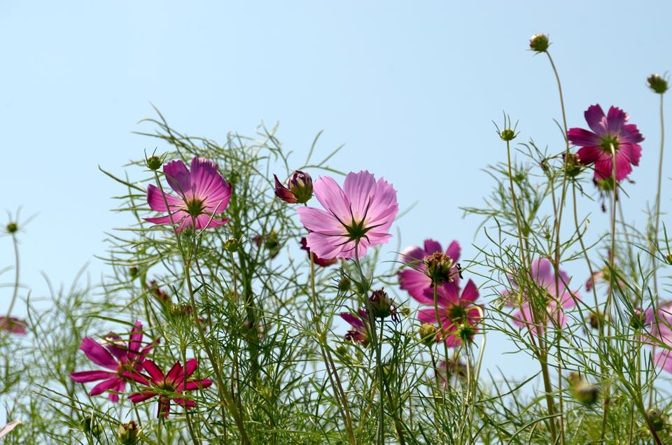 D70_5155秋桜