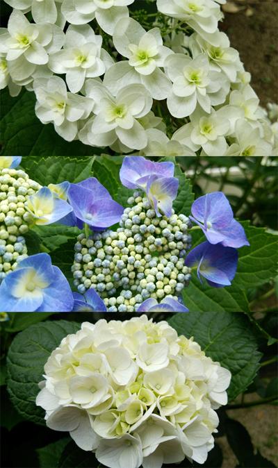 紫陽花140602