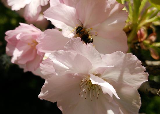 桜にハチっこ1404