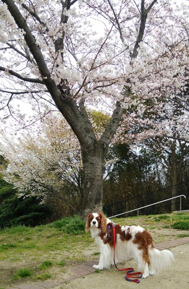 公園の桜140401
