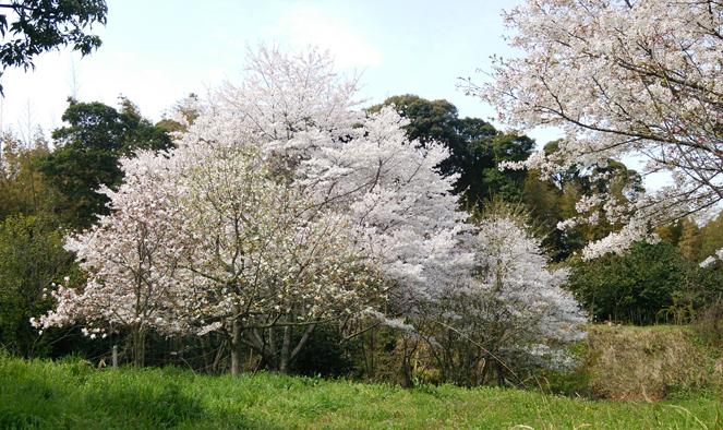 大桜の樹1404