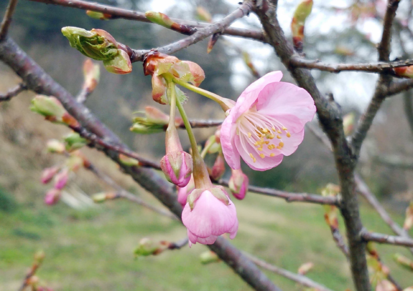 桜咲いた14031