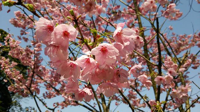 桜14032