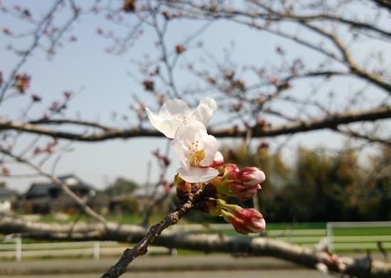 桜初咲きです14033