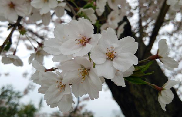 曇りの桜1404
