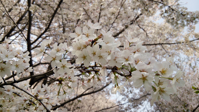 曇りの日の桜14042