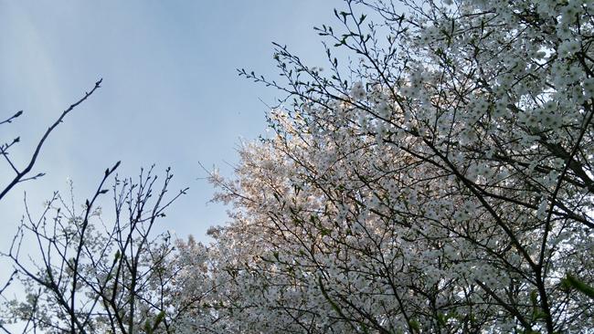 曇りの日の桜14043