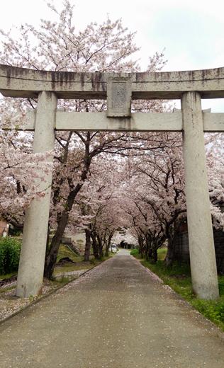 鳥居と桜と1404