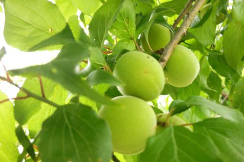 梅の実さん140601