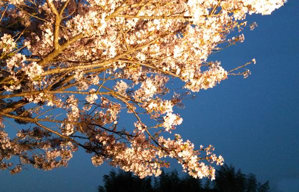 夜桜1404