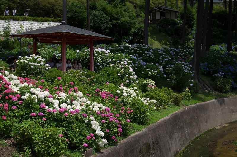 三室戸寺 紫陽花