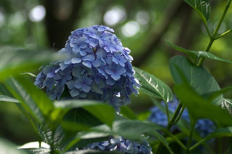 大泉緑地 紫陽花