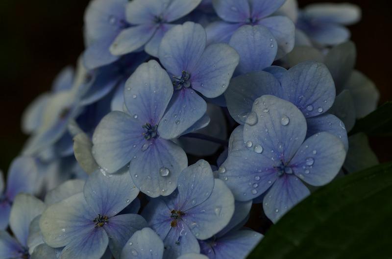 大泉緑地 初夏 7月 紫陽花