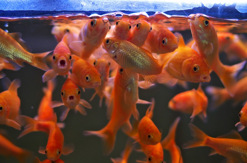橿原市昆虫館 金魚