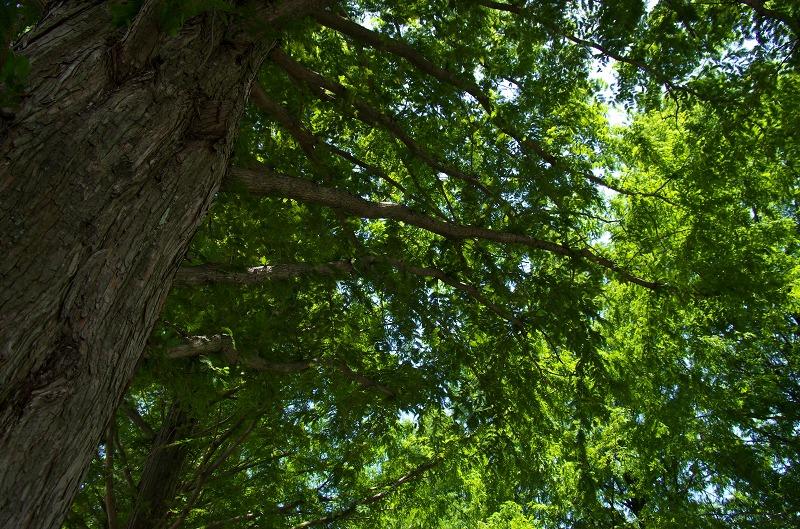 マキノ メタセコイヤ並木 新緑