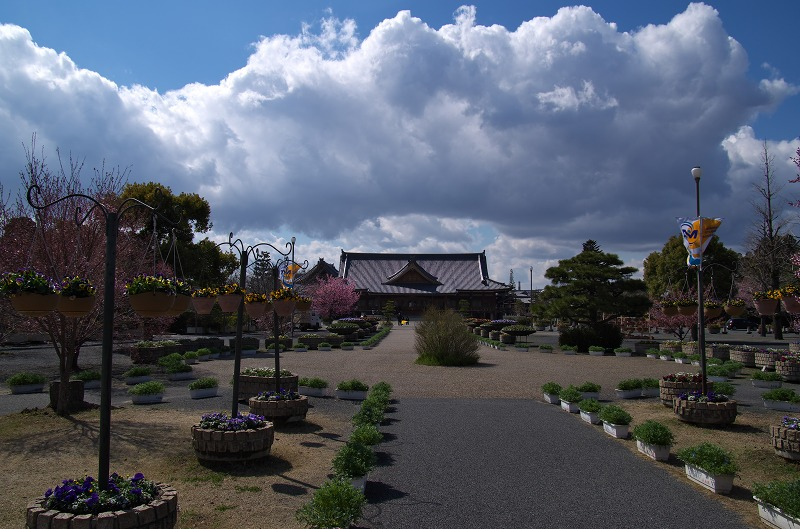 天理教本部 桜 2014