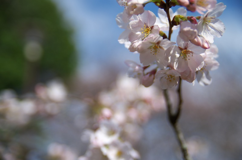 奈良県 斑鳩町 三室山 桜