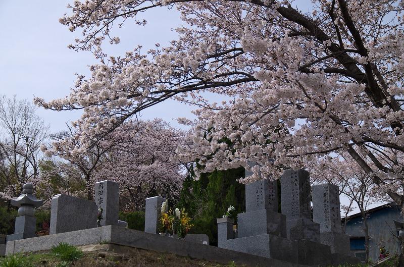 富田林市立西山墓地 桜